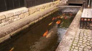 飛騨古川瀬戸川の鯉