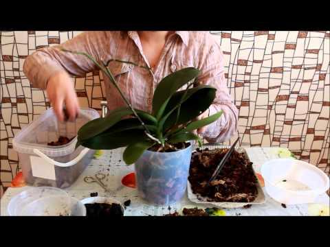 Как пересадить орхидею (Falenopsis)