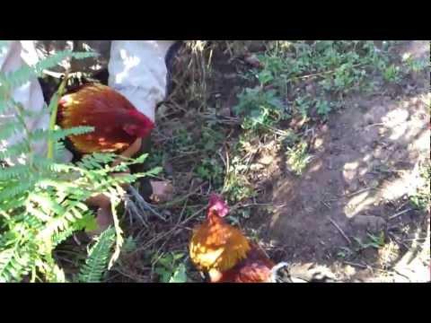 Bẫy gà rừng Lai Châu