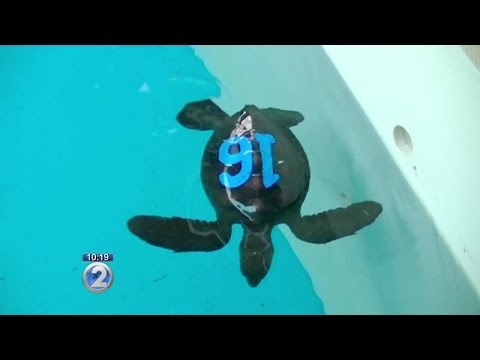 Maui Ocean Center welcomes baby green sea turtles