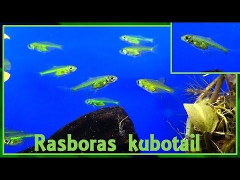 Microdevario kubotai - (Kottelat & Witte, 1999) - (Cyprinidae) - Rasboras kubotai - France - 10/2017