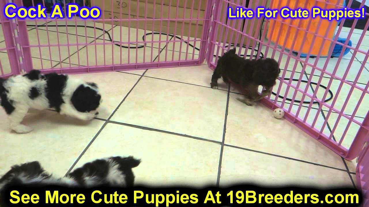 Opinion cock a poo puppies for sale excellent