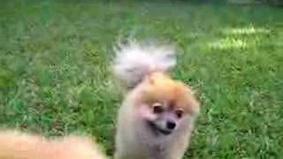 Iggy The Pomeranian