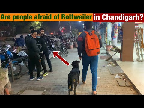 Public Reaction: Scared of a Rottweiler? Thor in Chandigarh's Streets|