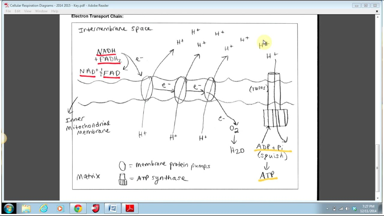 Electron Transport Chain Simple Diagram Mono Jack Wiring Youtube