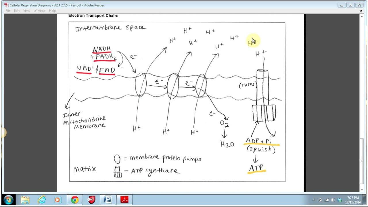 Electron Transport Chain Diagram  YouTube