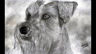 Dibujo realista de un perro schnauzer a lápiz  🐶| Drawing a dog schanuzer | HD🐶🐾