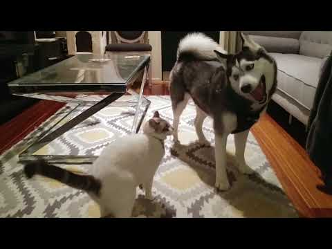 Siberian Husky and Cat Playing