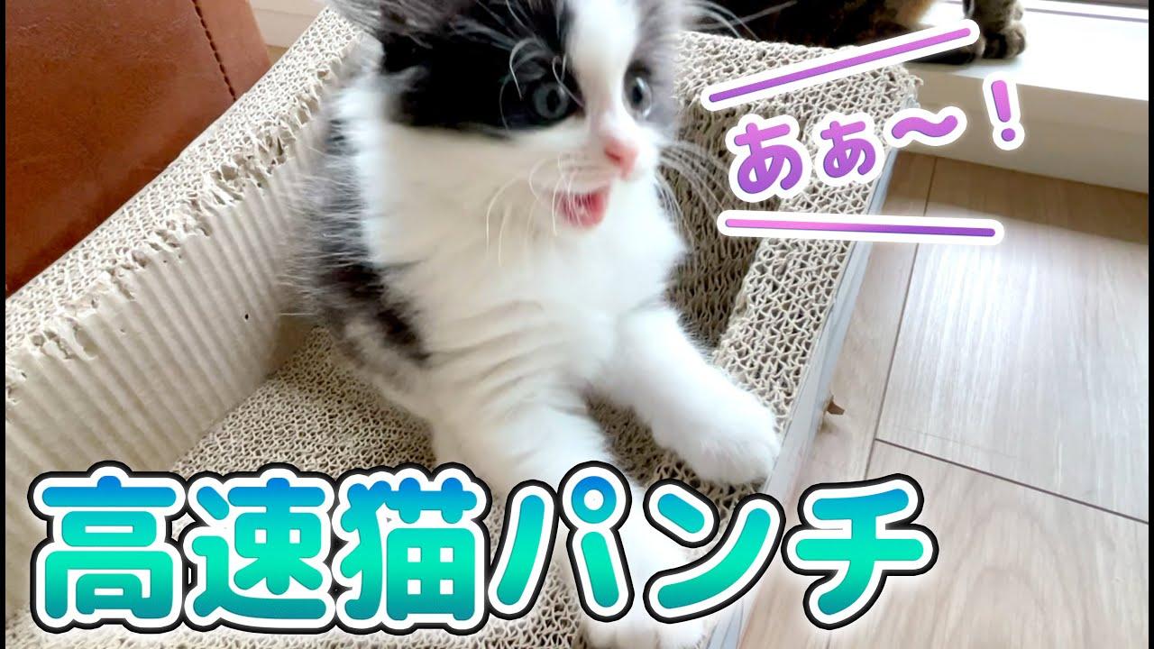 【保護ネコ】高速猫パンチのトレーニングをする子猫がコチラです....笑