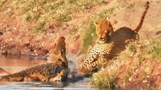 Crocodile Attacks a Leopard Trying To Steal Its Food