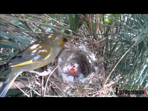 Wildlife Gadget Man - Greenfinch Nest 1 May 2015