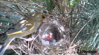 Wildlife Gadget Man - Greenfinch Nest 1 May 2015