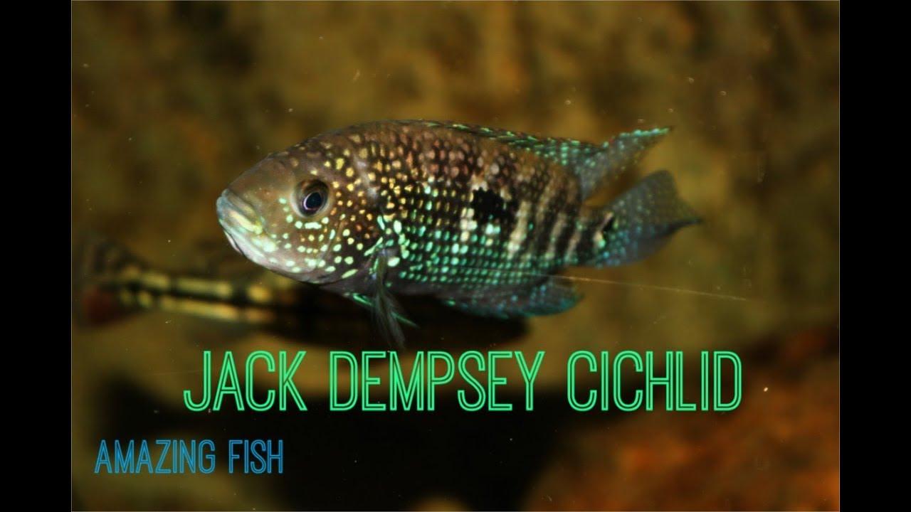 Jack Dempsey Fish – Care, Habitat & Everything You Need To
