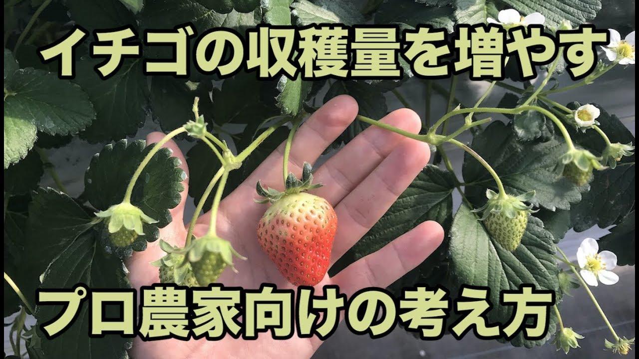 イチゴ の 収穫 量