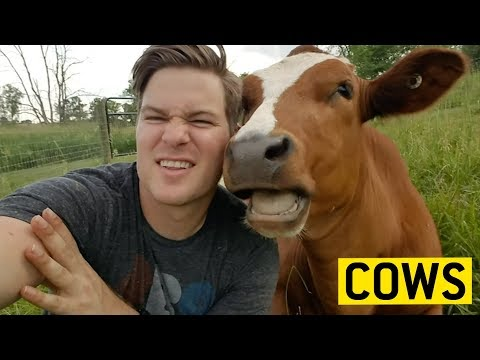 Cuddly Cows || JukinVideo