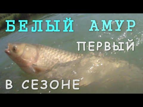 Видео ловля амура в июле