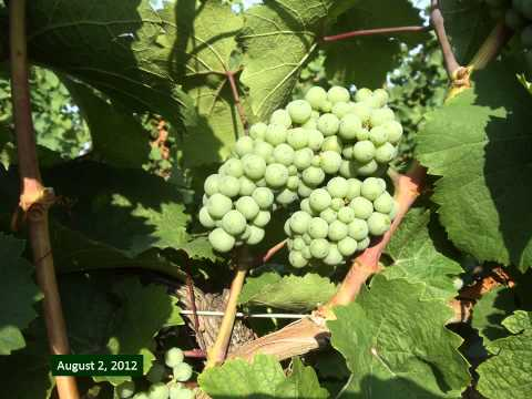 Grape Video 5 - The Life Story of a Grape Cluster