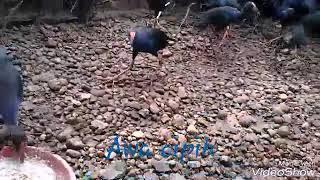 Ternak Burung Mandar Biru
