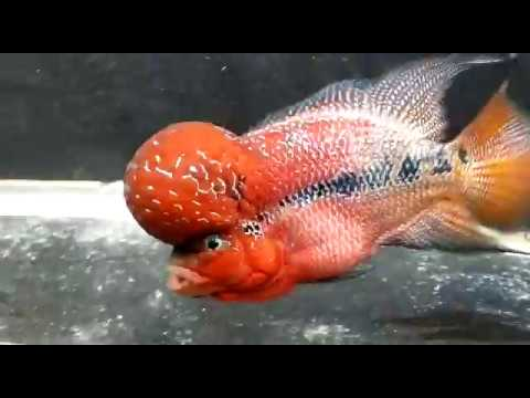 Srd Flowerhorn Monster Kok Youtube