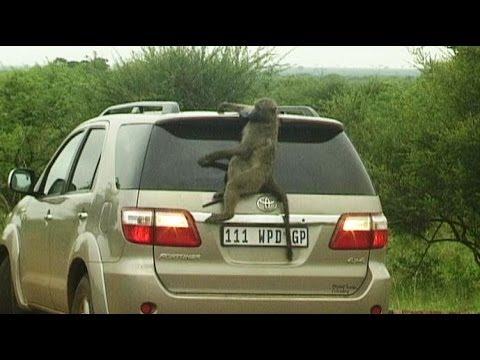 A Baboons But Baboons hijacking cars...