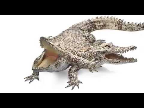 Two-headed Crocodile - YouTube