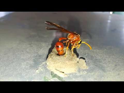 Wasp's Nest Construction Skill