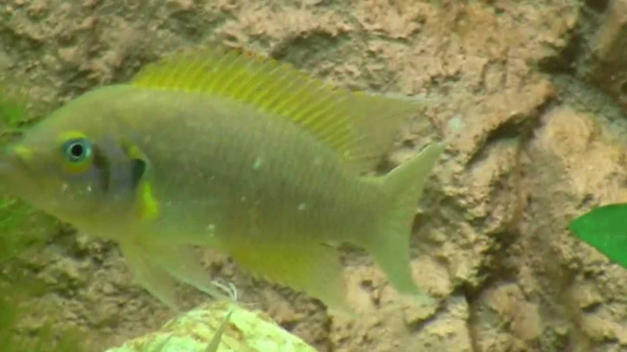 Neolamprologus pulcher