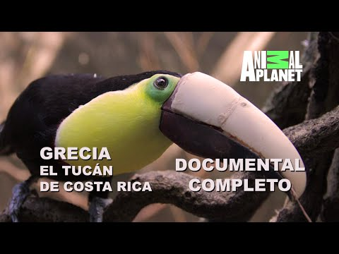 Documental : Grecia Tucán de Costa Rica