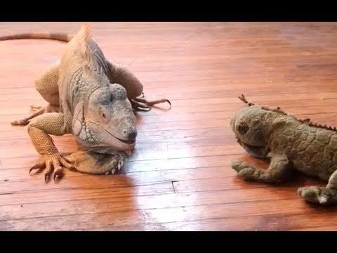 When Iguanas Attack