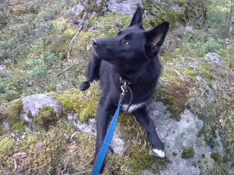 Border Collie German Shepherd Mix Dog Pictures Youtube