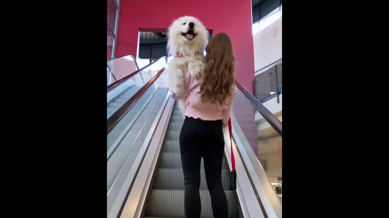 Spoiled Samoyed needs to be carried up the escalator