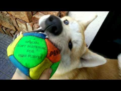 Yujin: My Akita Inu dog (6 months old) - In 4k! 2160p