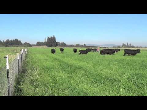Grass feed beef and intense rotational grazing