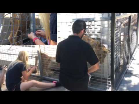 Kiara the African lion voluntary blood collection behavior at America's Teaching Zoo