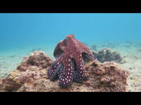 Octopus changes color and texture - Eilat