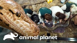 ¡Pitón reticulada tiene problemas mudando de piel!   Los Irwin   Animal Planet