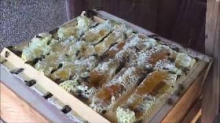 2017 09 26日本みつばち2群を採蜜する