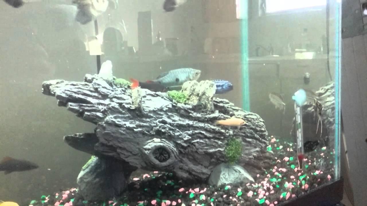 Semi aggressive fish with non aggressive fish youtube for Non aggressive fish