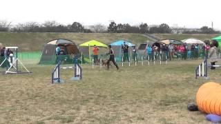 Bleau, Standard Poodle, In Jkc Agility Games On 14 March 2015