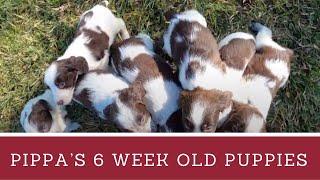 Pippa's Puppies  6 weeks  English Springer Spaniel