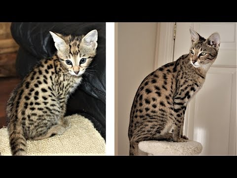 From Kitten to Big Savannah cat