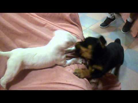 Rottweiler ataca a Dogo Argentino