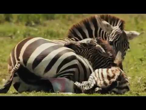 Feel of danger - Serengeti
