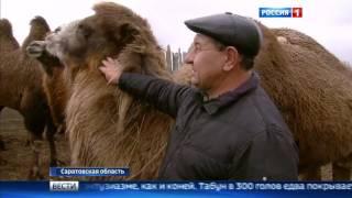 Разведение верблюдов и лошадей на юге Саратовской области