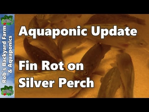 Treating Fin Rot On Silver Perch - Aquaponic System Update