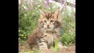 ЛИРИКУМ Тапок котенок мейн-кун первый раз на прогулке