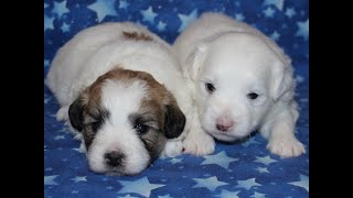 Coton Puppies For Sale - Isha 8/3/20
