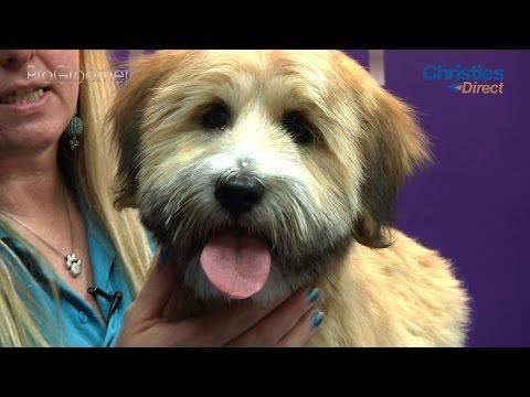 Grooming Guide - Tibetan Terrier Puppy Trim - Pro Groomer