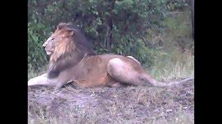 Братья львы
