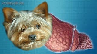 Печеночная недостаточность у собак | Лечение.